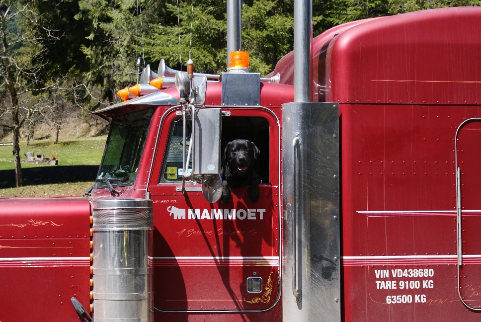 Black Lab driving truck